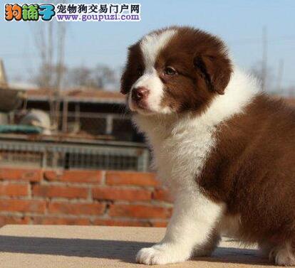 顶级优秀品质北京边境牧羊犬低价转让 外地可代办空运