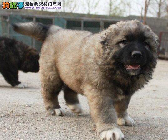 出售精品俄系高加索犬 深圳市内可免费送狗上门价格低