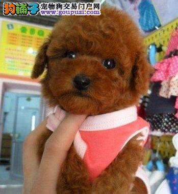 正规犬舍出售韩系小卷毛西安贵宾犬疫苗齐全
