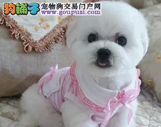 太原正规犬舍出售甜美脸型的比熊犬 纽扣眼黑鼻头