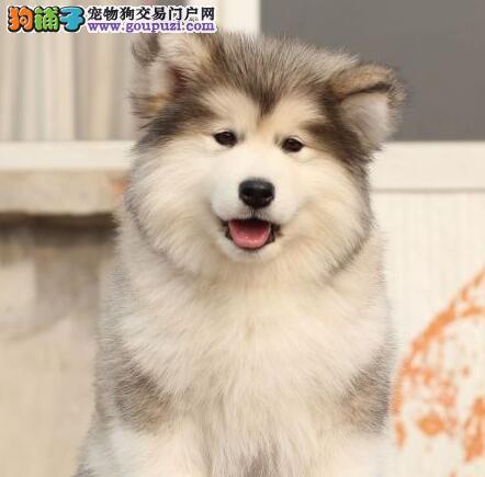 南平专业的阿拉斯加犬犬舍终身保健康保证冠军级血统