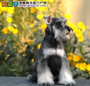 椒盐色深灰色的雪纳瑞幼犬找爸爸麻麻 仅限西城人选购
