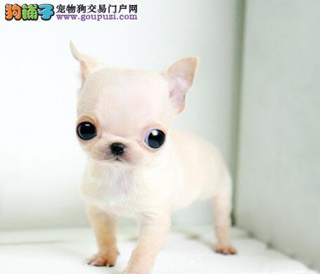 苹果头杏仁眼吉娃娃-繁殖场出售纯种可爱吉娃娃小狗
