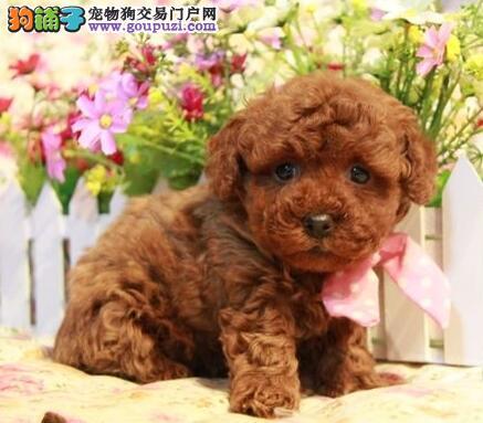 茶杯玩具血系品相的台州泰迪犬火爆低价热卖中