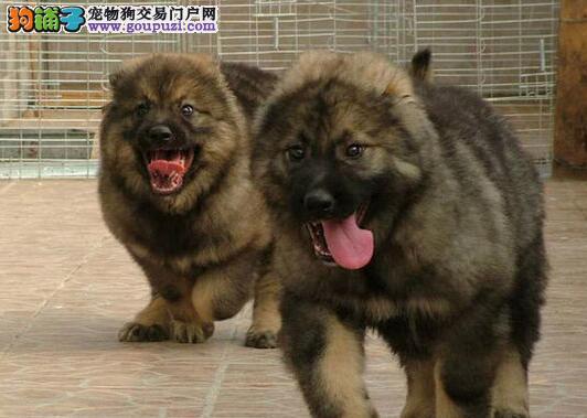 呼和浩特正规狗场直销狼青色高加索犬 请您放心选购
