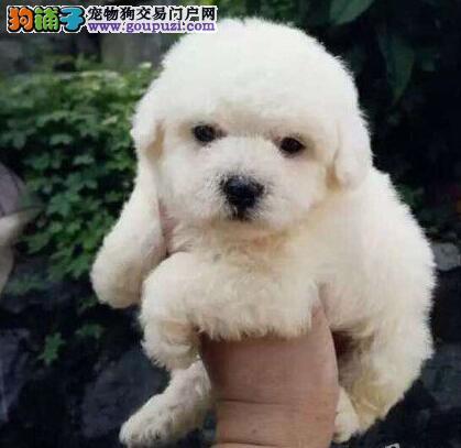 纯血统比熊幼犬,完美品相 品质第一,讲诚信信誉好