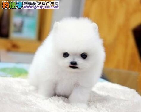 专业犬舍热销博美犬上海地区上门购买送用品