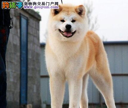CKU认证犬舍 专业出售极品 秋田犬幼犬国际血统认证