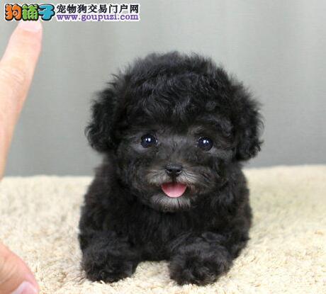 出售新乡纯种巨型可爱贵宾幼犬 可上门挑选 签订协议