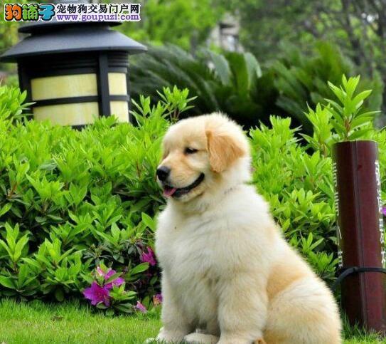转让爆毛量大头版的台州金毛犬 可随时上门看狗