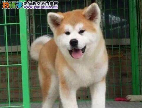纯种日系秋田犬出售 包健康 宠物狗 美系秋田犬 柴犬