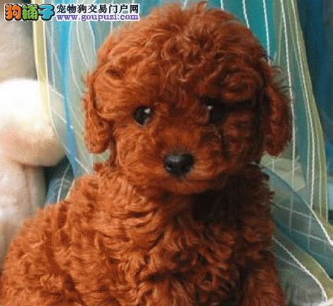 台州养殖基地出售巨型贵宾犬 喜欢的朋友别错过