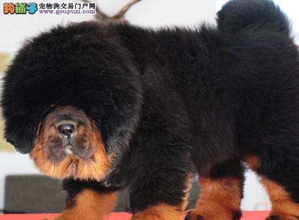 高贵气质,王者风范,纯种大狮头大长毛藏獒幼犬出售.