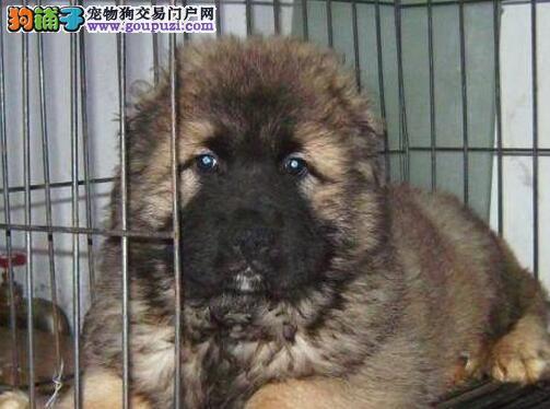 厦门正规犬舍出售高品质高加索犬 可随时上门选购看狗