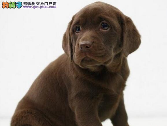 低价出售大骨架的佛山拉布拉多犬 价格公道非诚勿扰