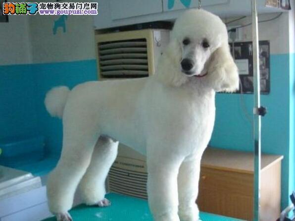 重庆哪里出售贵宾幼犬 重庆贵宾价格多少 多只选