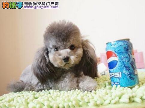 纯种泰迪熊幼犬 红贵宾犬 玩具泰迪茶杯泰迪多色挑选
