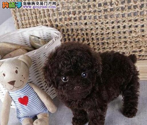 可爱哈尔滨泰迪犬直销价格出售 国外引进品种品质优秀