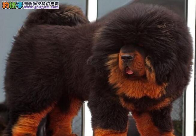 国际注册犬舍 出售极品赛级藏獒幼犬外地可空运已驱虫