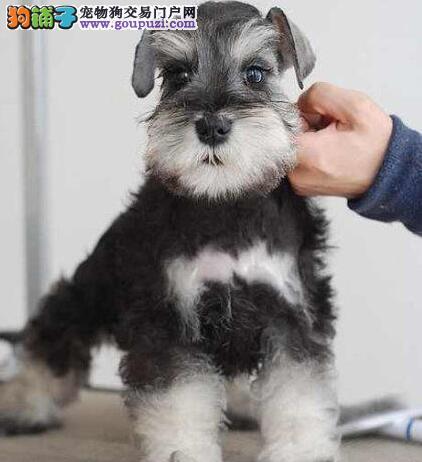 佛山犬舍出售纯种迷你雪纳瑞幼犬 保障血统纯健康
