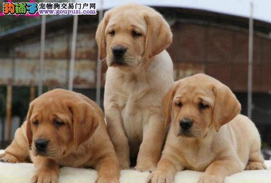 专业的拉布拉多犬舍终身保健康保证品质完美售后