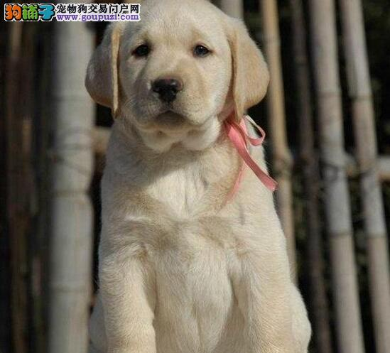 青岛大型犬舍直销纯种拉布拉多导盲犬 颜色齐全