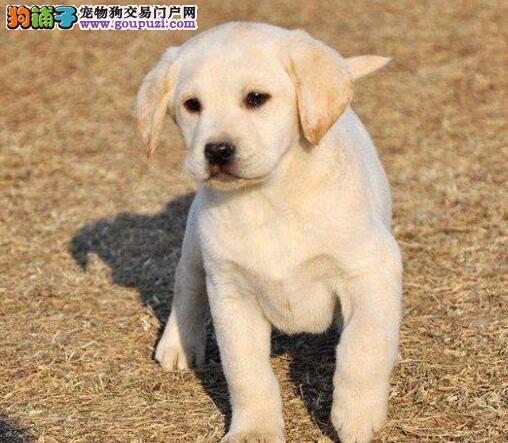 白银自家狗场繁殖直销拉布拉多幼犬我们承诺售后三包