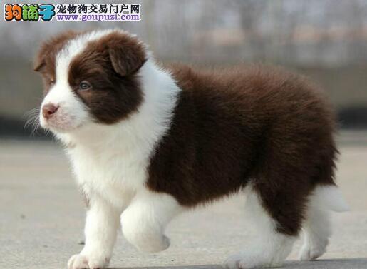 极品七白到位上海边境牧羊犬 可刷卡可送货可签协议