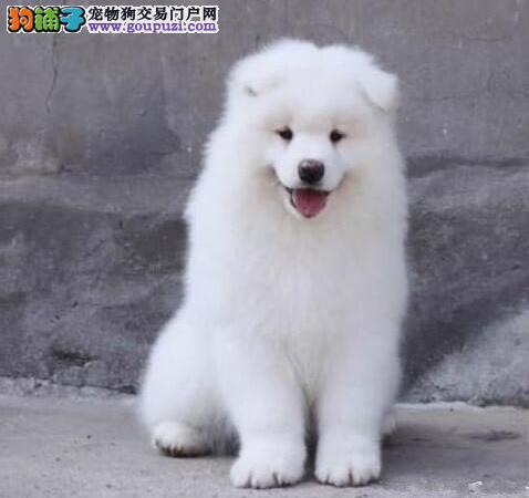 热销多只优秀的天津纯种萨摩耶幼犬包养活包退换