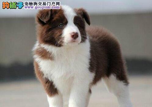 超级精品边境牧羊犬,真实照片保纯保质,寻找它的主人