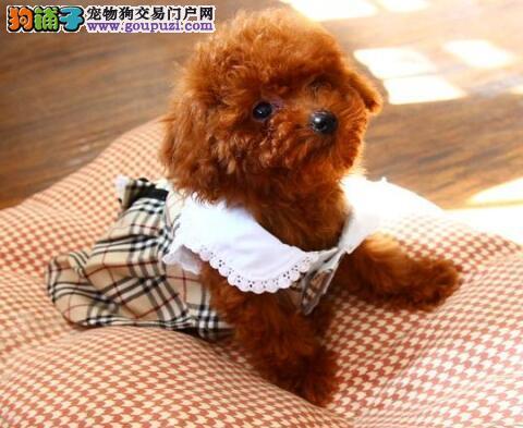韩系小体佛山泰迪熊找新主人 脸型甜美大眼睛