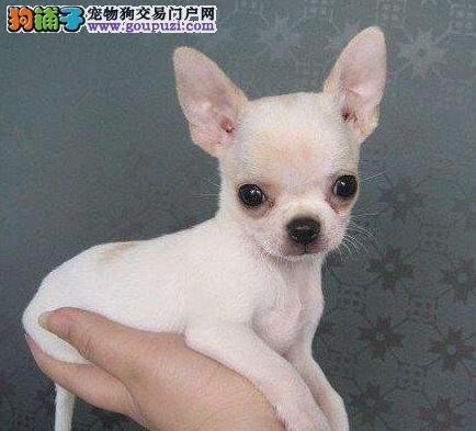 出售精力充沛体型娇小的吉娃娃幼犬 佛山市内免费送货
