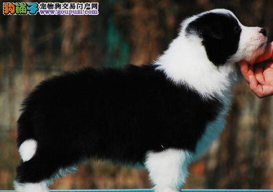 成都出售极品边境牧羊犬七白到位 三年联保