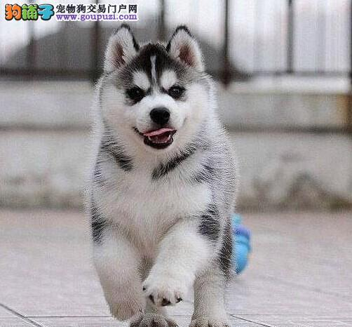 佛山犬舍出售三火双蓝纯种哈士奇幼犬 可刷卡可送货
