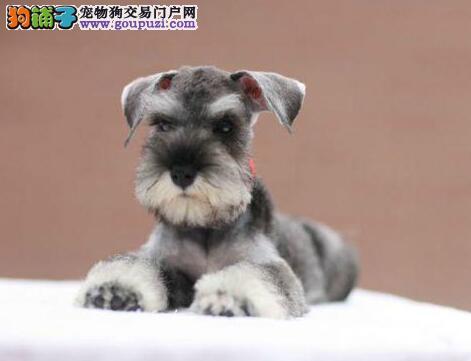 多种颜色的赛级雪纳瑞幼犬寻找主人加微信送用品