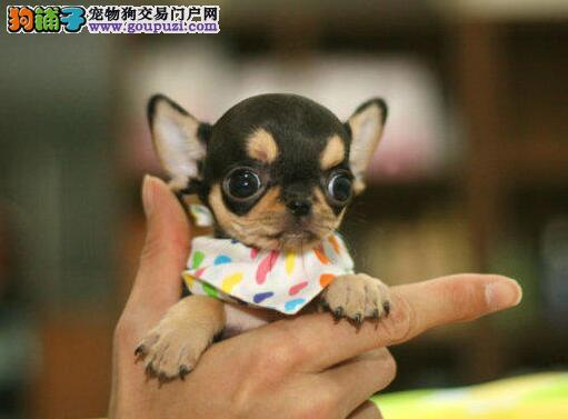 吉娃娃找新家、金牌店铺价位最低、购犬可签协议