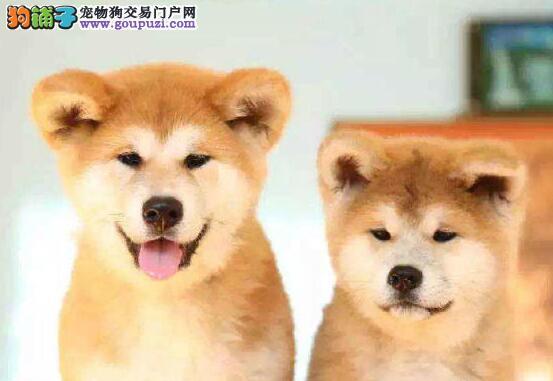 专业繁殖泰秋田犬疫苗已做包健康包纯种