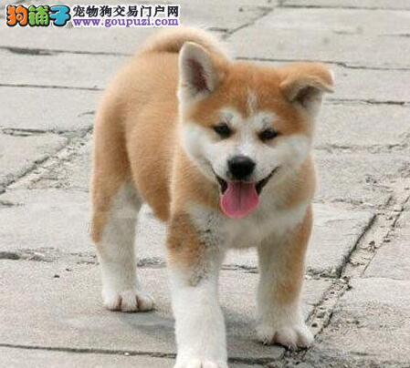 出售纯种健康的焦作秋田犬幼犬价格美丽品质优良