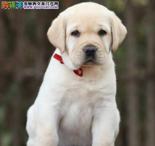纯种拉布拉多宝宝天津地区找主人微信咨询视频看狗