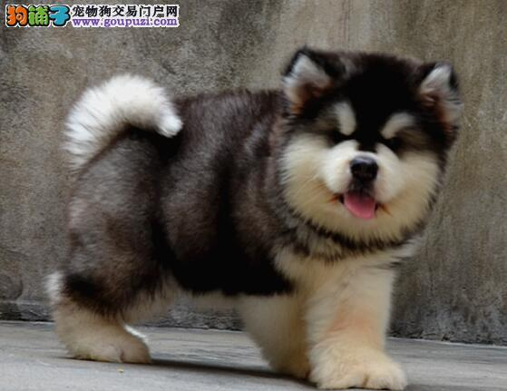 纯种阿拉斯加犬宝宝找主人CKU认证绝对信誉保障