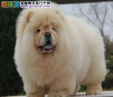 出售纯种健康的松狮幼犬冠军级血统品质保障