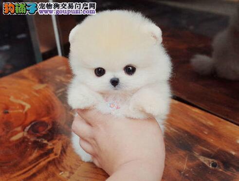 广东自家狗场繁殖直销博美犬幼犬优质售后服务
