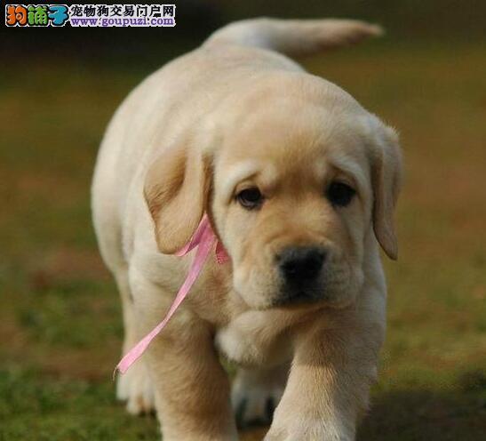 广州正规狗场出售拉布拉多犬 支持全国空运客运发货