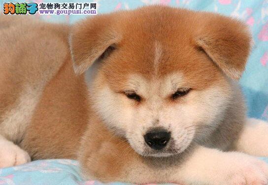 基地售纯种日系的秋田犬 吉林周边地区免费送货