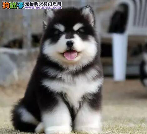 犬舍直销高品质成都阿拉斯加雪橇犬驱虫已做包养活
