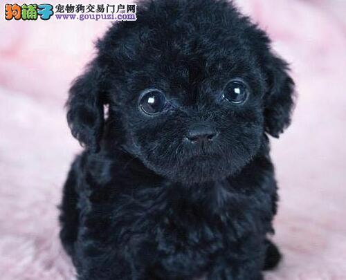完美品相血统纯正舟山贵宾犬出售多种血统供选购