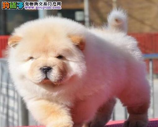 CKU犬舍认证出售高品质曲靖松狮同城免费送货上门