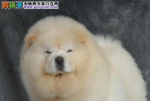 低价出售台州的松狮犬 疫苗驱虫已做好证书芯片齐全