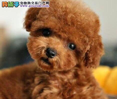 贵阳正规狗场出售巨型贵宾犬 买的安心养的顺心
