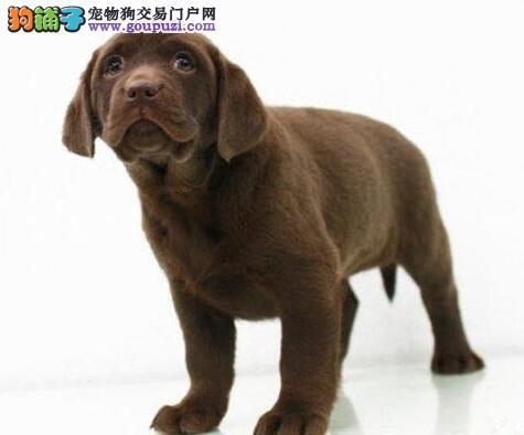 拉不拉多,拉布拉多,纯种拉布拉多幼犬